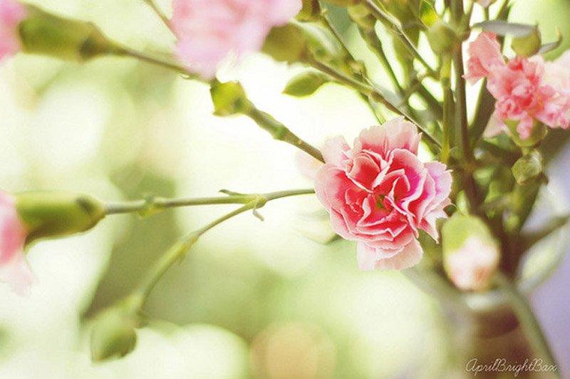 Favim.com-carnations-flora-floral-flower-flowers-nature-51978