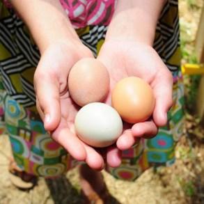 """ปล่อยไก่อุดมชัยฟาร์ม ปล่อยให้ """"ไก่"""" และ""""คน"""" มีความสุขไปพร้อมกัน 15 - egg"""