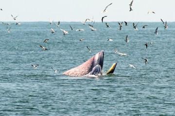 ล่องเรือชม วาฬบรูด้า สัตว์ป่าสงวนลำดับที่ 16 สัตว์ประจำถิ่นอ่าวไทย 24 - วาฬบรูด้า