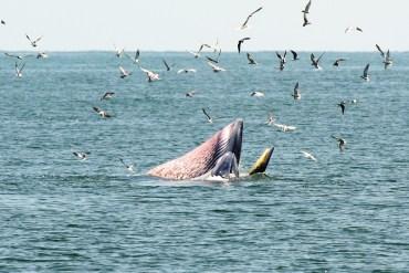 ล่องเรือชม วาฬบรูด้า สัตว์ป่าสงวนลำดับที่ 16 สัตว์ประจำถิ่นอ่าวไทย 29 - TRAVEL