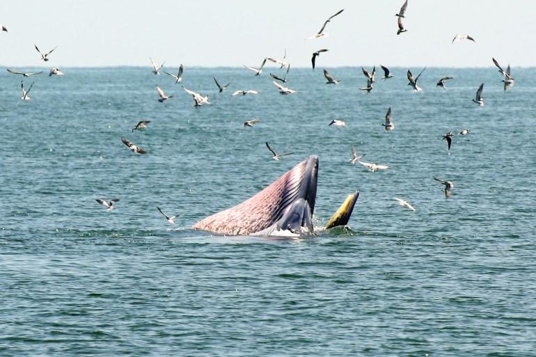 ล่องเรือชม วาฬบรูด้า สัตว์ป่าสงวนลำดับที่ 16 สัตว์ประจำถิ่นอ่าวไทย 14 - GREENERY