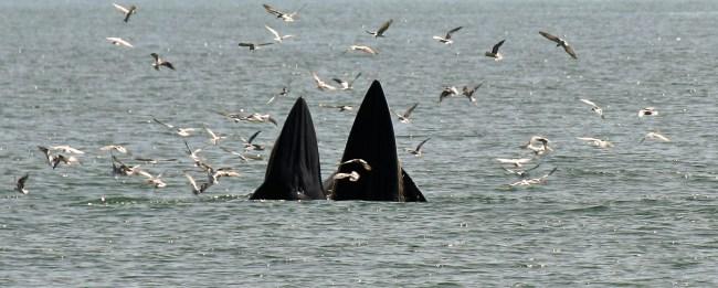 Bryde09 650x261 ล่องเรือชม วาฬบรูด้า สัตว์ป่าสงวนลำดับที่ 16 สัตว์ประจำถิ่นอ่าวไทย