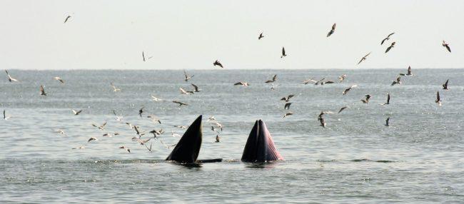 Bryde11 650x286 ล่องเรือชม วาฬบรูด้า สัตว์ป่าสงวนลำดับที่ 16 สัตว์ประจำถิ่นอ่าวไทย