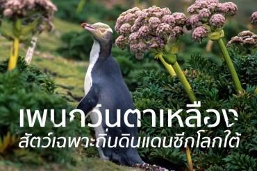 ชมนกเพนกวินตาเหลือง ที่นิวซีแลนด์ สัตว์เฉพาะถิ่นของดินแดนซีกโลกใต้ 26 - TRAVEL