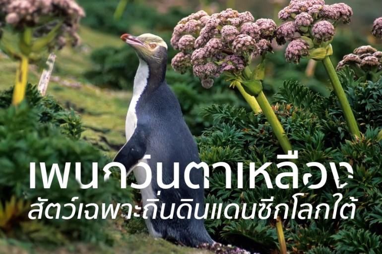 ชมนกเพนกวินตาเหลือง ที่นิวซีแลนด์ สัตว์เฉพาะถิ่นของดินแดนซีกโลกใต้ 19 - penguin