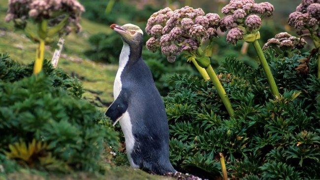 12PENGUINEJP master1050 750x422 ชมนกเพนกวินตาเหลือง ที่นิวซีแลนด์ สัตว์เฉพาะถิ่นของดินแดนซีกโลกใต้