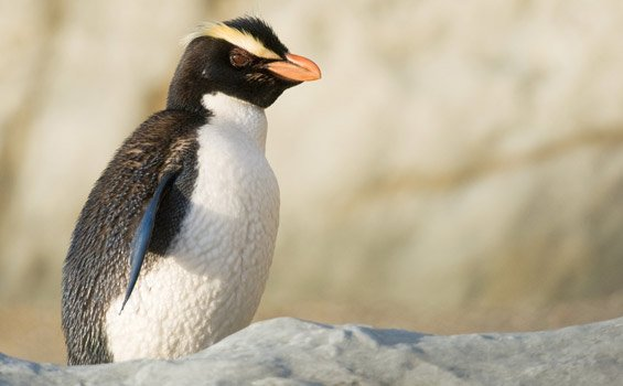 fiordland-crested-penguin