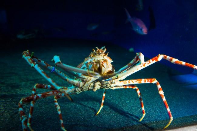 spider 750x500 พิพิธภัณฑ์สัตว์ทะเล ชูราอิมิ (Churaumi Aquaium) แห่งโอกินาวา (Okinawa)