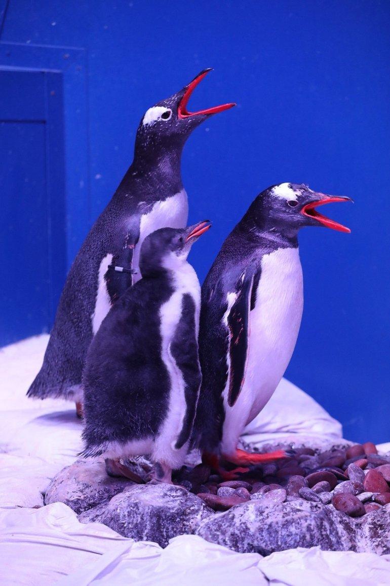 """ตะมุตะมิ! ซีไลฟ์ฯ ต้อนรับ """"ลูกเพนกวินเจนทูตัวแรก"""" ในประเทศไทย พิเศษ! ร่วมตั้งชื่อเจ้าตัวน้อย...ลุ้นรางวัลใหญ่ ถึง 31 กรกฎาคม นี้เท่านั้น! 14 - Gentoo Penguin"""