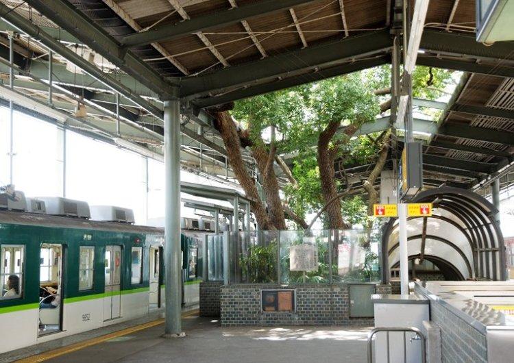 สถานีรถไฟญี่ปุ่นเจาะสถานีเพื่อรักษาต้นไม้อายุ 700 ปี 7 - greenery homepage