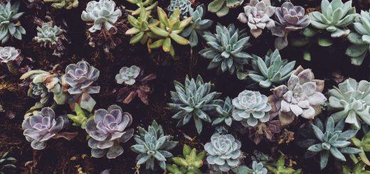 plant variety