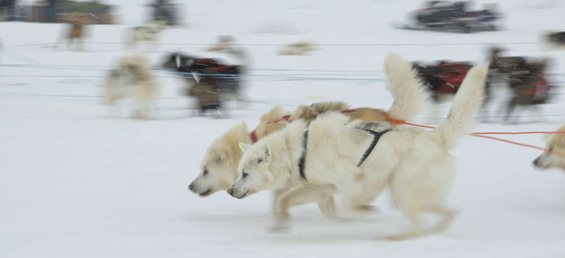 2 Inuits dogs racing at Ivakkak 2015