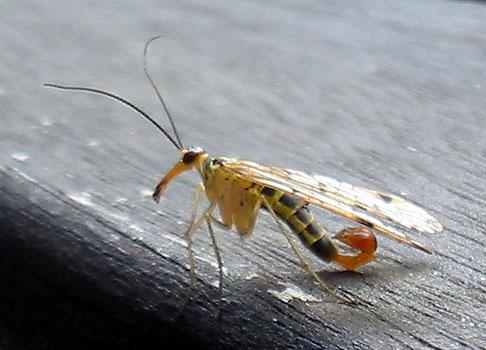 È arrivato l'insetto più pericoloso del mondo?