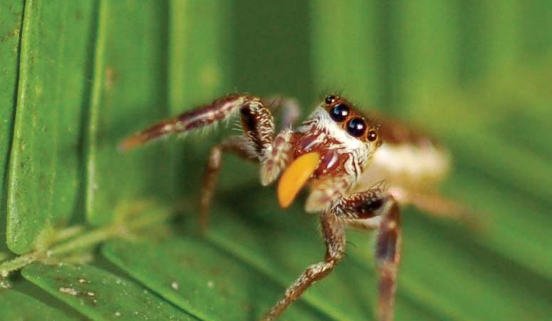 Bagheera kiplingi, il ragno vegetariano