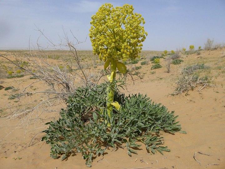 Il silfio, la pianta perduta dell'epoca greco-romana