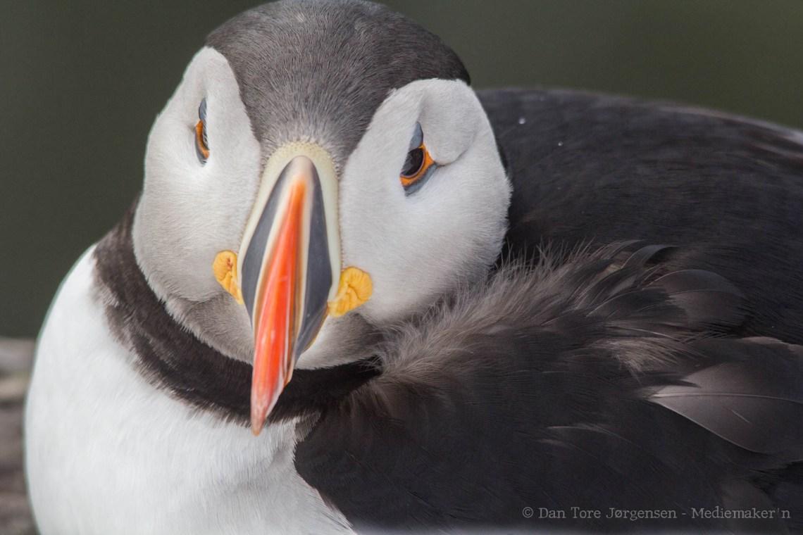 LUNDEFUGL: En av de best kjente fugleartene på Hornøya er lundefugl, også kalt sjøpapegøye. Foto: Dan Tore Jørgensen