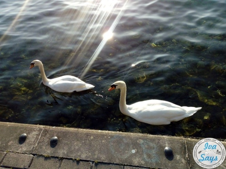 Swans in Lake Ohrid in Ohrid, Macedonia. Travel | Bucket list destination | Romantic Travel | Culture Travel | Europe | Summer destiantion