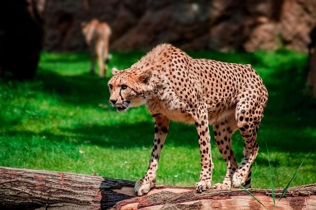 Holidays and volunteering: A cheetah on a wooden branch getting ready to launch at a zoo.