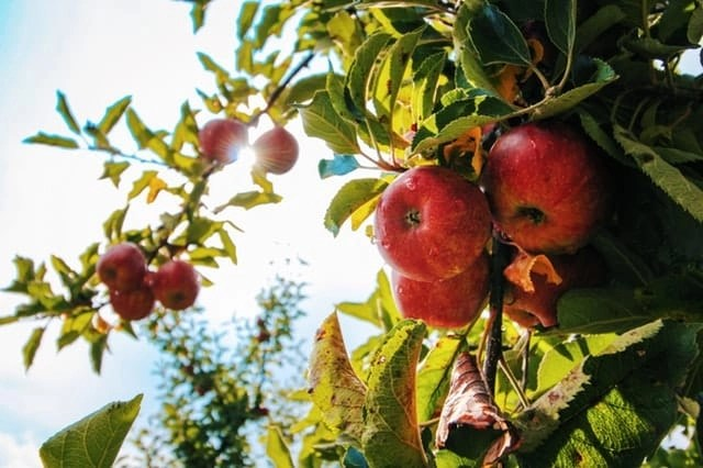Red apples on an apple tree ready to be picked.