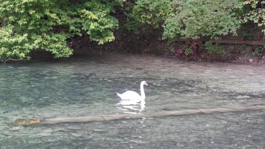 A white swan in a lake.