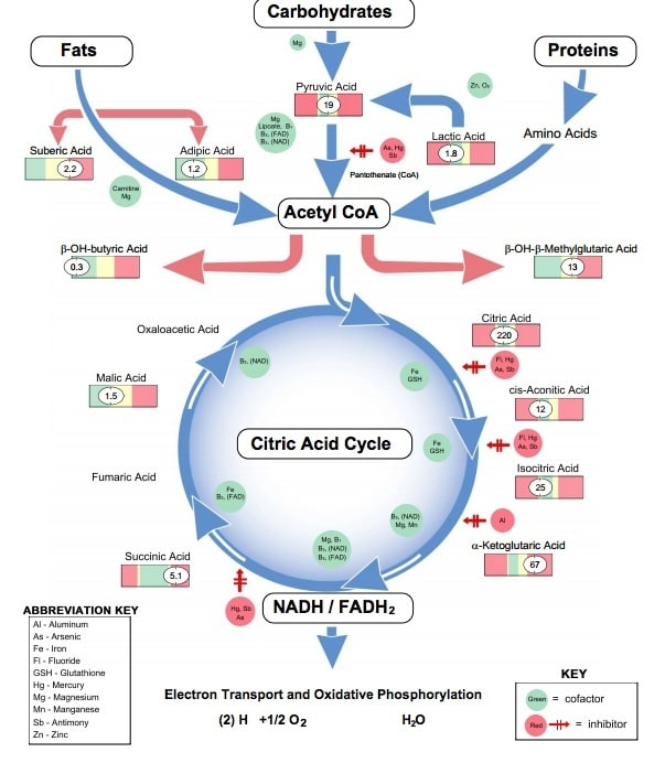 explain krebs cycle with diagram basic carbon fatigue and energy - mitochondrial blockers
