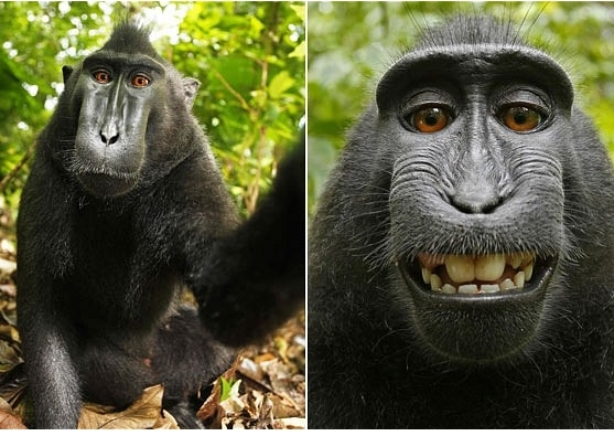scimmia fotografia autoscatto
