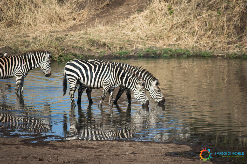 Zebre nel Tarangire - Tanzania