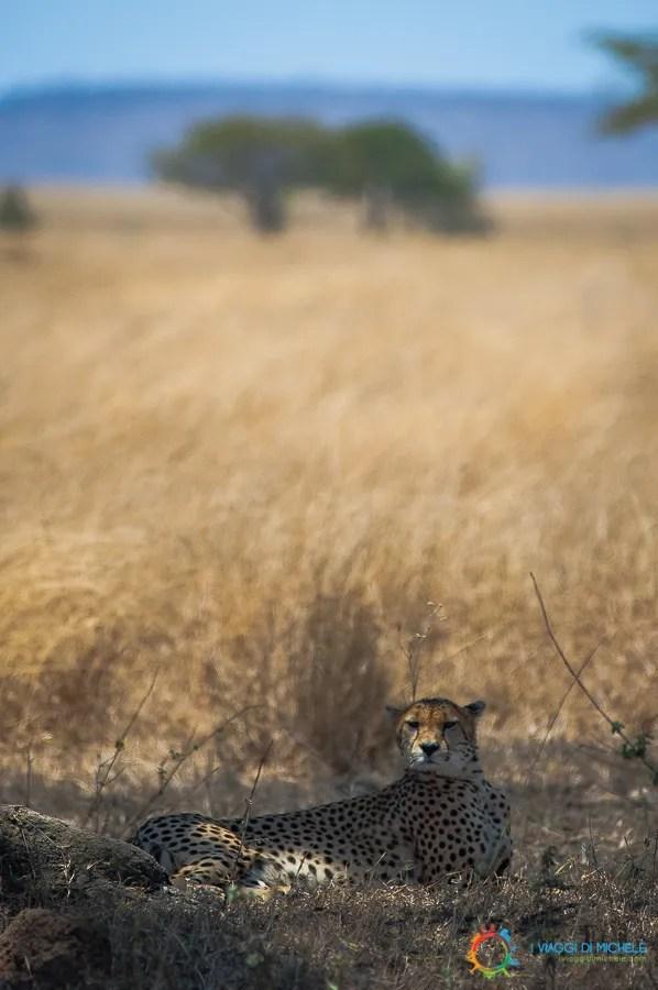 Ghepardo nel Serengeti - Tanzania