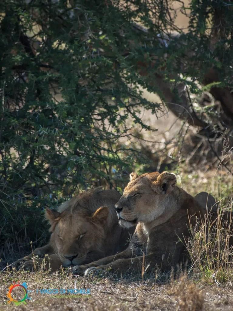 Leoni nel Serengeti, approfittano dell'ombra
