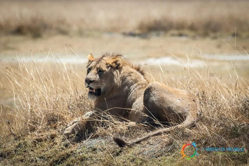 Safari in Tanzania, un Leone