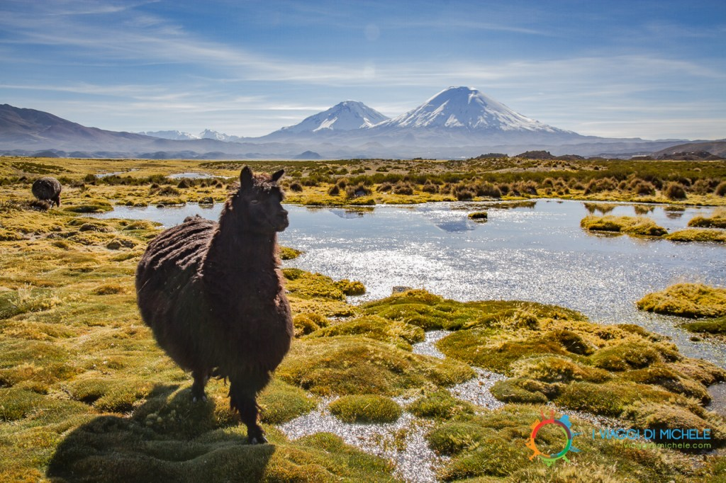 Alpaca, Parque Nacional Lauca
