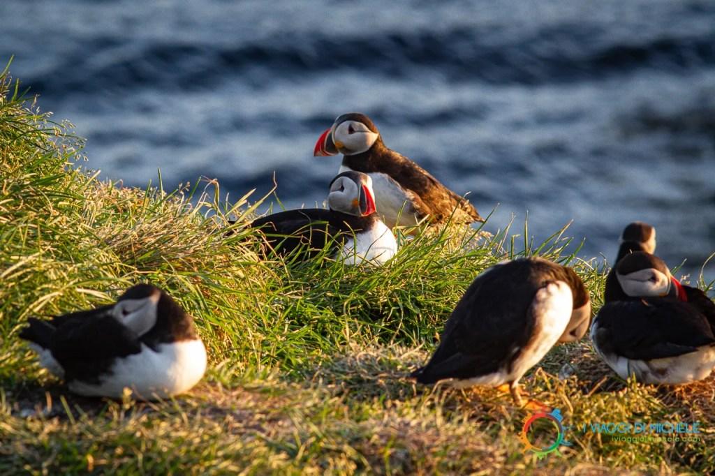 Puffin, pulcinelle di mare - Fiordi Occidentali Islandesi