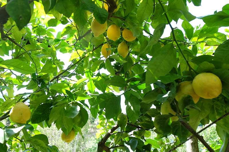 limoni giardino segreto dell'anima