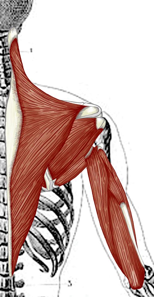 Shoulder-Muscles-Back