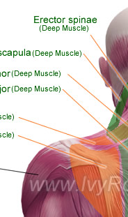 triceps brachii diagram soil profile of michigan posterior muscles the human body