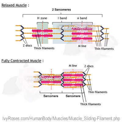 The Sliding Filament Theory Of Muscle Action