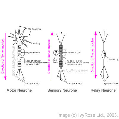 Neurones: Structures & Functions