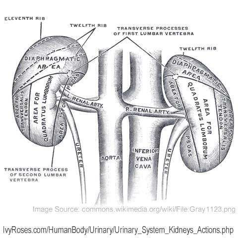 Kidneys Filter Blood : Processes of Glomerular Filtration