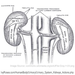Parts Of The Eye Diagram And Function Vauxhall Astra Convertible Wiring Kidneys Filter Blood : Processes Glomerular Filtration, Tubular Reabsorption ...