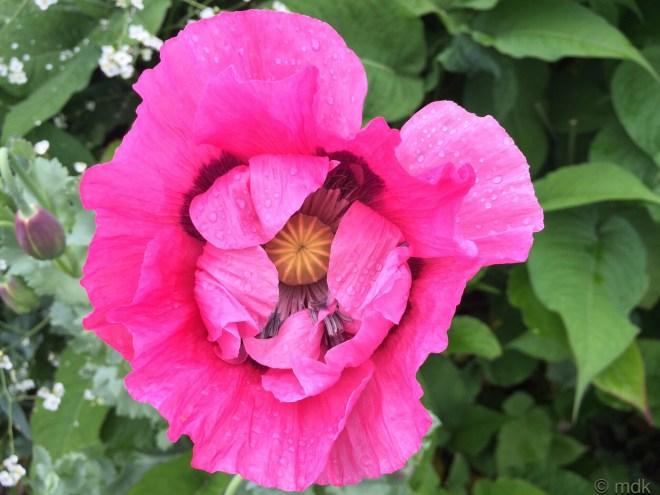 Oriental poppy