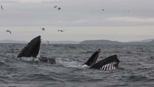 Humpback pair bubble-netting off the Stags, 24/11/12 © Pádraig Whooley, IWDG