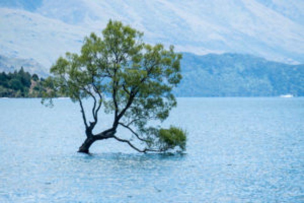 L'arbre solitaire de Wanaka.