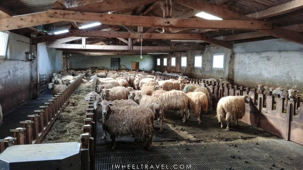 Les nombreuses brebis attendent dans le hangar en attendant la prochaine éclaircie.