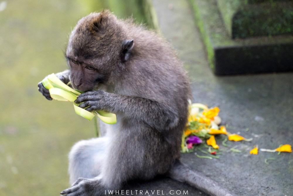 Ce petit singe mange l'une des offrandes déposées au pied d'un temple.