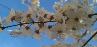Prunier d'Ardèche en fleurs