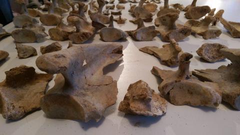 Admirer un tas d'ossements préhistoriques - Crédit photo izart.fr