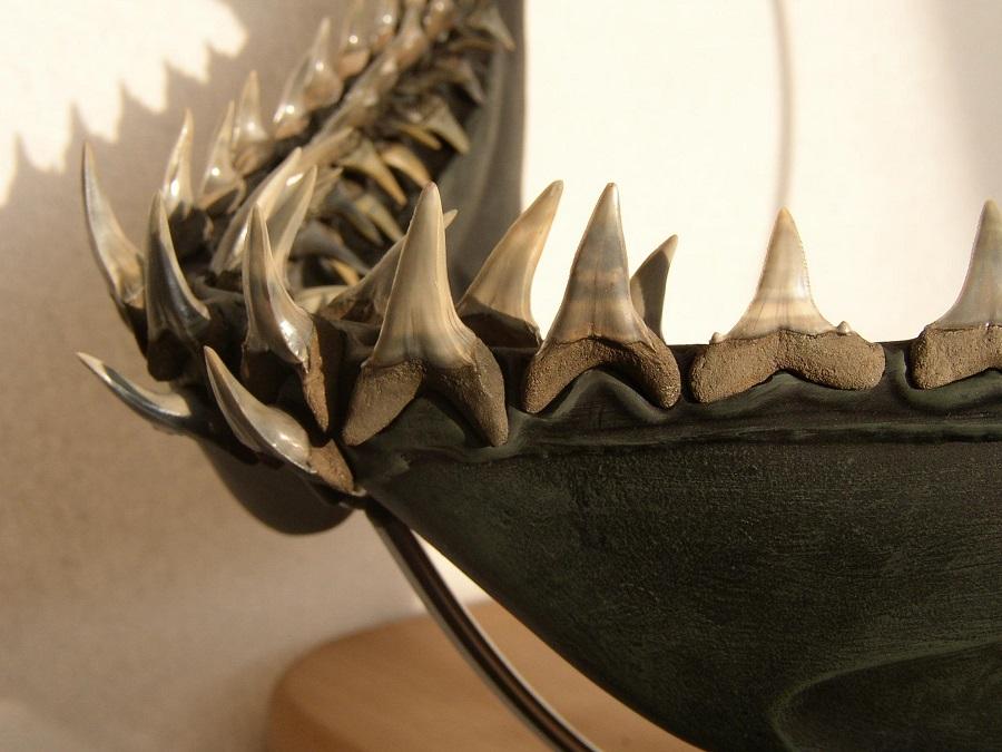 Haaienkaak reconstructie van uitgestorven haai. Gebruikt tijdens een determinatie bijeenkomst
