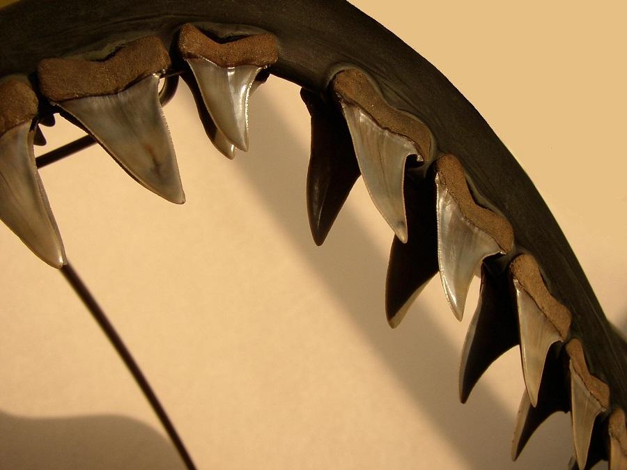 Haaienkaak reconstructie van de isurus Escheri fossielen haaientanden. Te leen geweest voor een lezing over determinatie van haaientanden