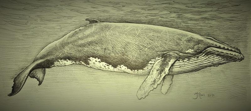 Tekening Nehalaennia devossi reconstructie uitgestorven zeezoogdieren gebruikt als illustratie museum inrichting