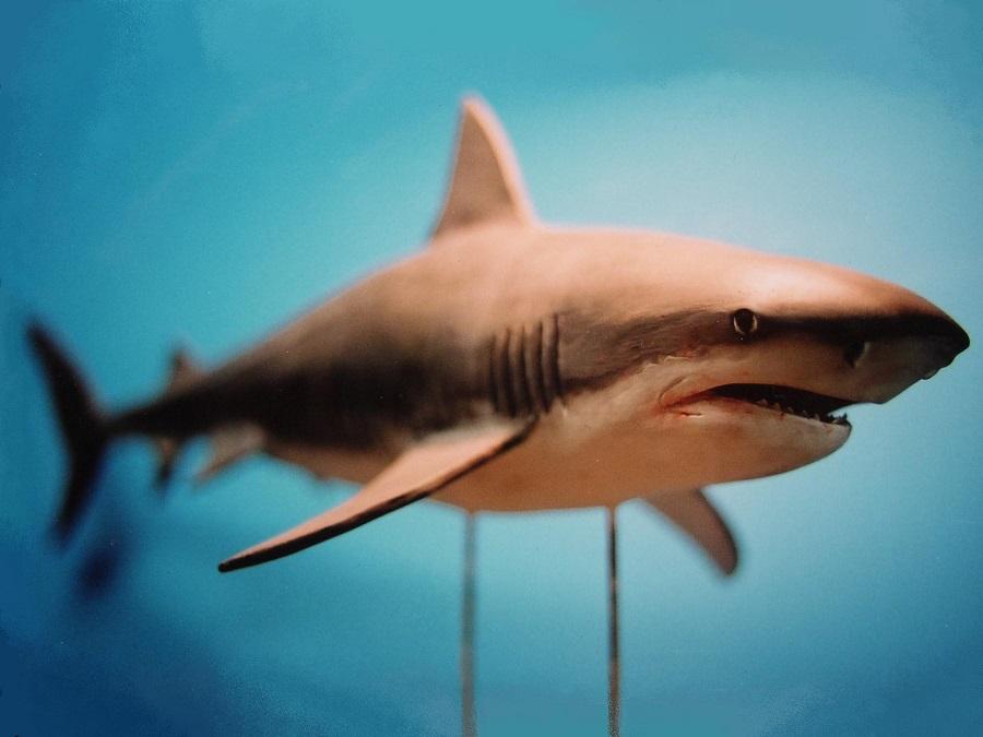 Diermodel van de tijgerhaai. Gemaakt voor een tentoonstelling van haaien door Jaap Roos Art